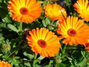 Календула - отличное противовоспалительное средство
