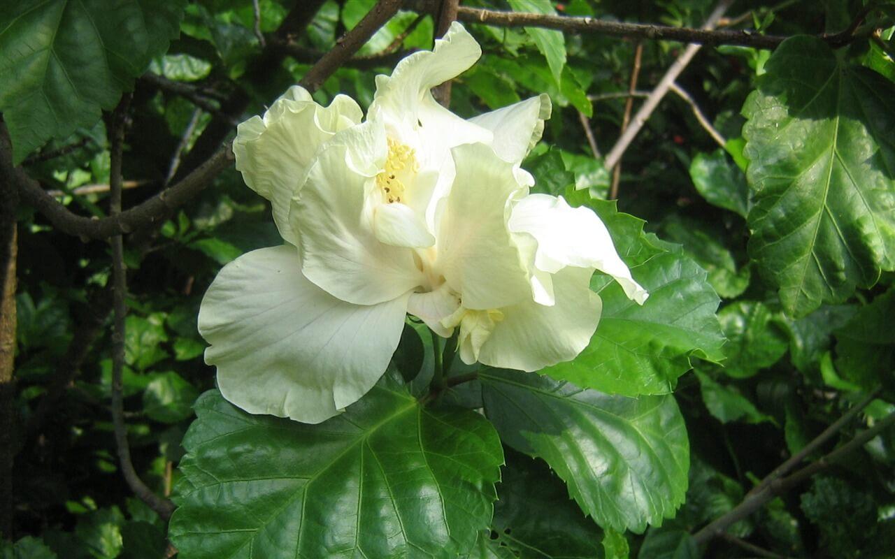 белая китайская роза фото приобретать бельгийский