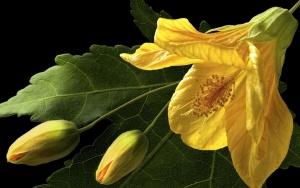 Желтый китайский гибискус